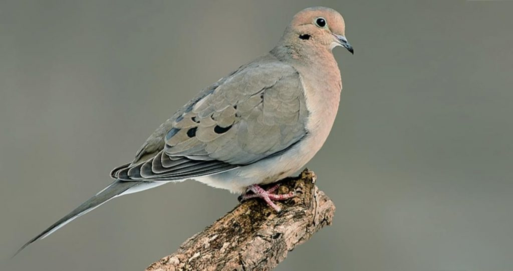 Dove spiritual meaning