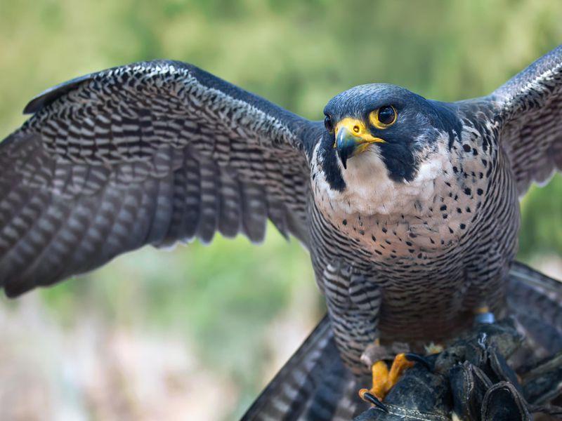 Falcon spiritual meaning