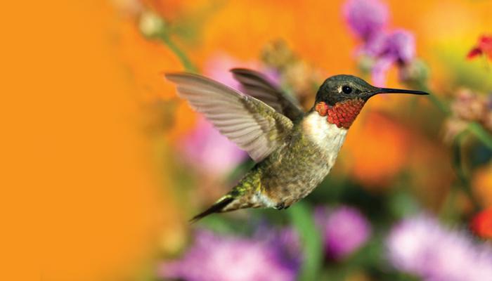 Hummingbirds spiritual meaning