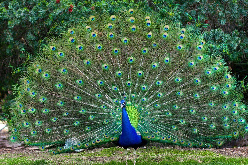 Peacock spiritual meaning