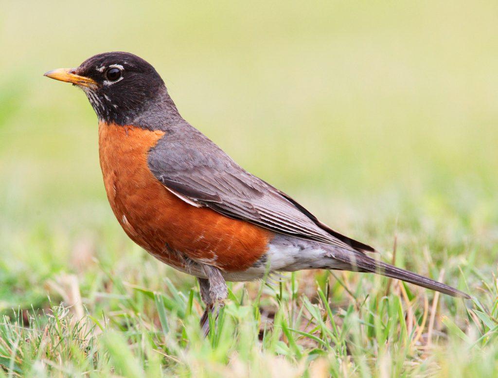Robin spiritual meaning