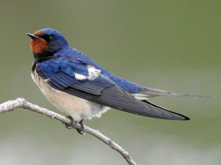 Swallow spiritual meaning
