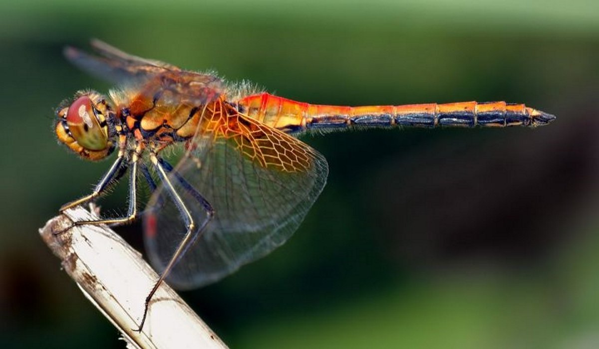 The Hidden Spiritual Meaning Of The Dragonfly! Do You See Them Often?